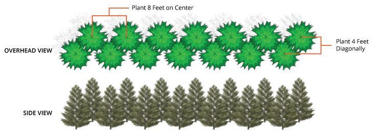 Double Row Spacing of Thuja Green Giants
