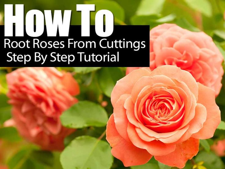 Have you ever received a bouquet of roses that were so beautiful you wish you had a bush to enjoy them again. The folks over at Hartwood Roses have a great tutorial, step-by-step and full of images on how to root a rose. So next time you can keep that rose memory forever. You can …
