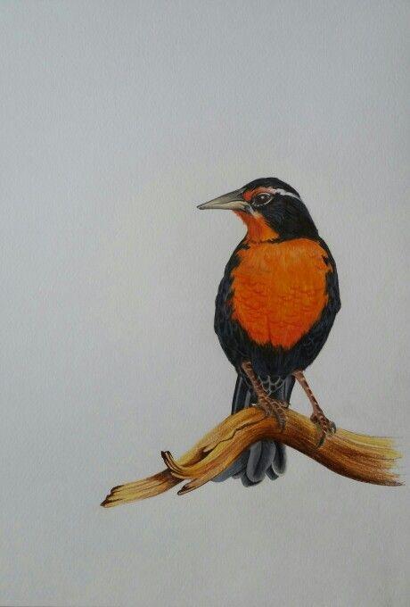 "Loica chilena. Dibujo a lápiz de sería ""aves de Chile"". Artista coté Correa"