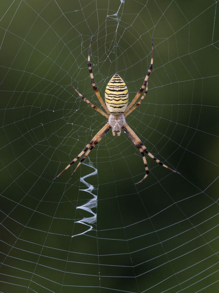 Un bel ragno fotografato a mano libera con la Olympus EM5 Mark II e Zuiko 40-150 Pro a 300mm equivalenti