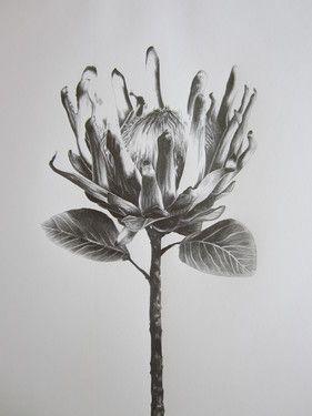 """Saatchi Online Artist Ira van der Merwe; Drawing, """"Protea Study IV"""" #art"""