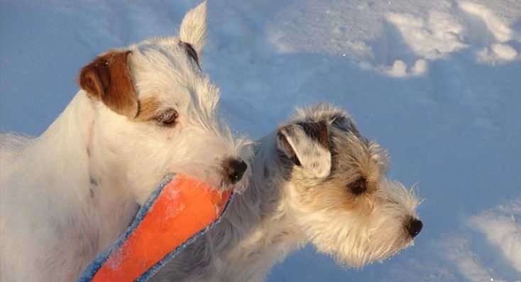 Parson Russell Terrier in snow