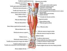 Aula de Anatomia - Sistema Muscular - Perna   http://www.auladeanatomia.com/sistemamuscular/perna.htm