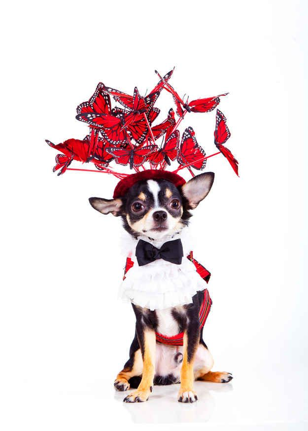 Like this fabulous headpiece seemingly swarming with butterflies. | 11 Pictures Of Tiny Dogs Wearing Couture