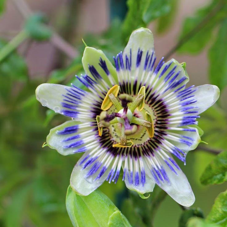 PASSIONSBLOMST - Passiflora caerulea
