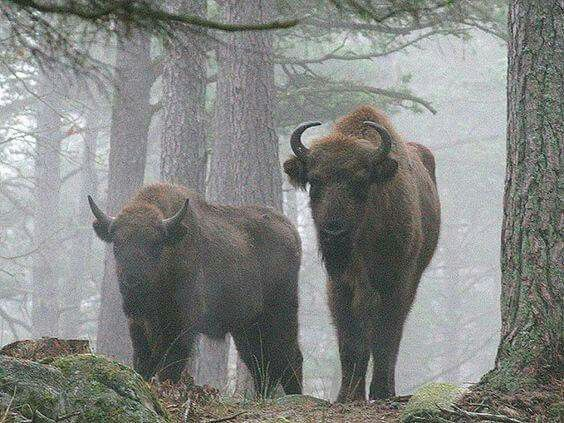 The Białowieża Forest (Puszcza Białowieska) is thought to be the last remaining intact primeval forest in Europe. The forest is home to around 800 wisent (żubr in Polish), which is a protected species of European bison. You can watch them in their natural environment.