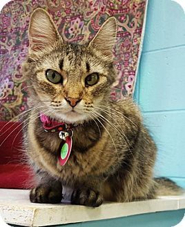 Prattville, AL - Domestic Longhair. Meet Simone 25720, a cat for adoption. http://www.adoptapet.com/pet/17014189-prattville-alabama-cat