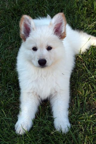 White german shepherd puppies for sale sc