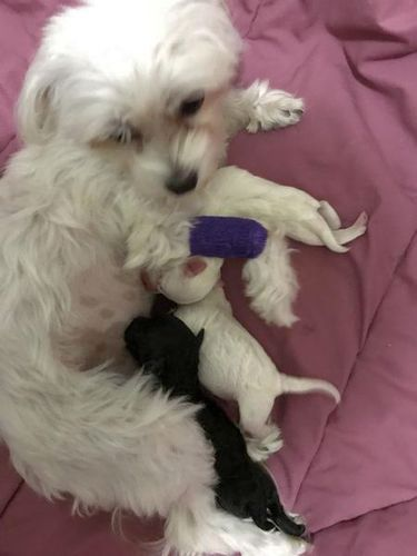 I'm a Maltese/Poodle Breeder here in the Salt Lake Valley. I have a creamy male maltipoo, 8 months old (2.5-3 lbs) going for 600$. He is up to date on shots (except for rabies. Due to being so small, I prefer to wait until they are 1 year).   I have a litter that just arrived on 9/28 with a white female that is available for 1000$. She will be ready for her new home on or about Thanksgiving Day.   Mom is 4 lb Maltese white and dad is 5 lb poodle black. Pups come with first round of ...