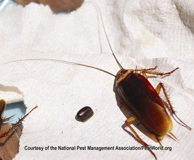 The American cockroach is the largest of the house infesting cockroaches   American cockroaches are. 42 best Cockroaches images on Pinterest   Pest control  Roaches