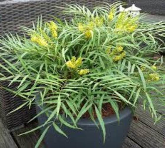 Soft Caress Mahonia evergreen