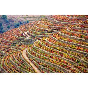 フリー写真, 風景, 畑, 段々畑, アルト・ドウロ・ワイン生産地域, ポルトガルの風景, 世界遺産, 葡萄(ブドウ), 紅葉(黄葉)