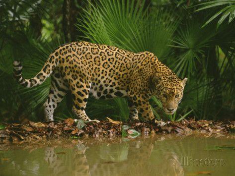 Jaguar at Waterhole, Panthera Onca, Belize Impressão fotográfica por Frans Lanting na AllPosters.com.br