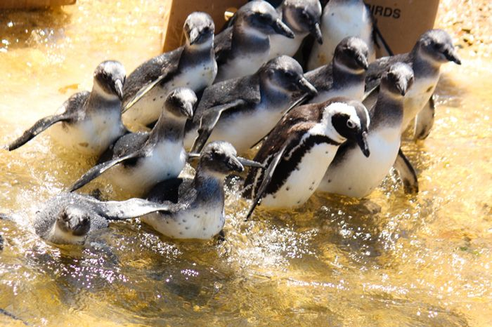 Fourteen African penguins are released back into the wild at Betty's Bay after being rehabilitated at SANCCOB's seabird centre. ©Roxanne Abrahams/SANCCOB