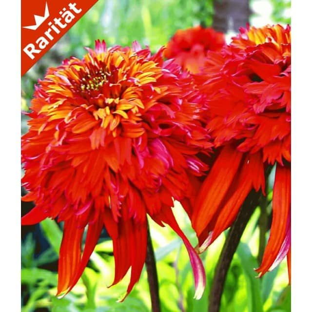 71 best Pflanzen images on Pinterest Plants, Garten and Red - baldur garten rosen