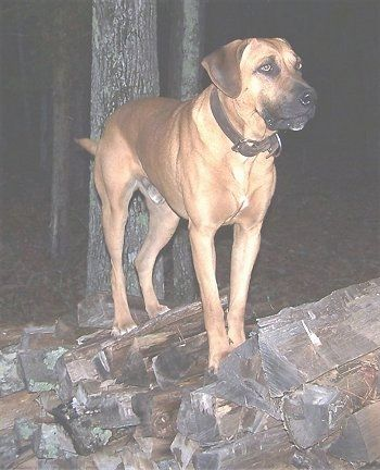 Tug the Black Mouth Cur climbing up chopped wooden logs
