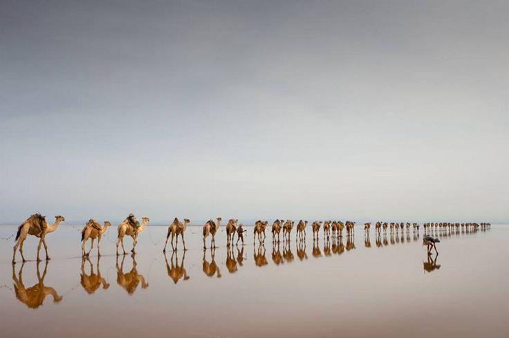 COMING TO GET SALT (Jørgen Johanson, Hamed Ela, Danakil Depression, Etiopia, 2008). L'area della depressione della Dancalia in Etiopia è tra i luoghi più caldi ed inospitali della terra. Il lago Asale, con i suoi 116 metri sotto il livello del mare, è uno dei territori più bassi della terra. Il popolo Afar utilizza il lago per estrarre il sale impiegando i cammelli per il trasporto del materiale.