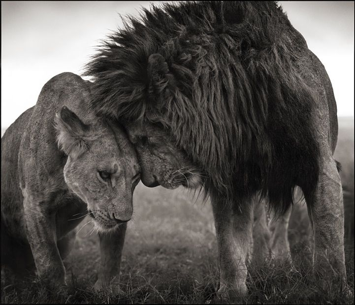 "How often do we see exquisite imagery of animals that isn't a ""When Animals Attack"" special? Photographer Nick Brandt says, ""The emphasis has generally been on capturing the drama of wild animals IN ACTION, on capturing that dramatic single moment, as opposed to simply animals in the state of being."" I agree with Brandt and appreciate his stunning contributions to wildlife photography."
