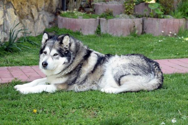 Caring For An Alaskan Malamute In The Summer Malamute Dog Dog