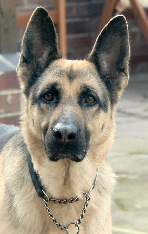 The German Shepherd (aka Alsatian and Alsatian Wolf Dog, both UK names) is a breed of large-sized dog that originated in Germany.