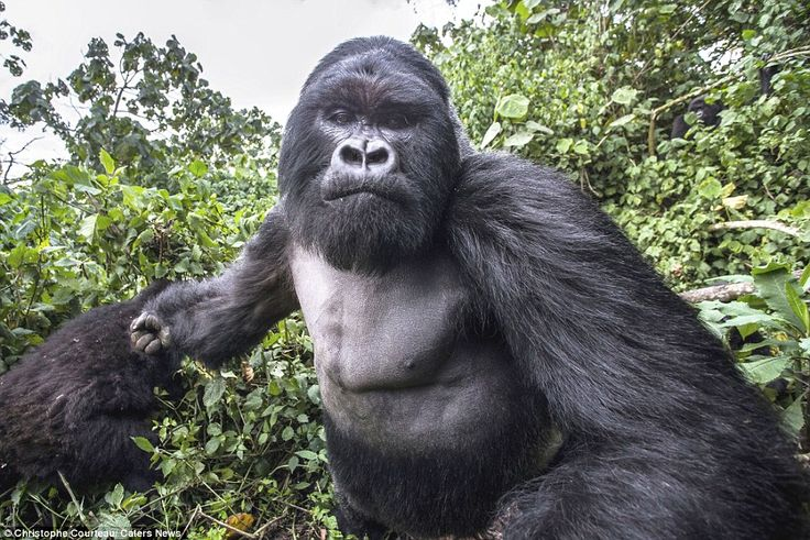 Wildlife photographer Christophe Courteau took this astonishing picture a split-second before 6ft 6in, 30 stone silverback gorilla Akarevuro punched him during a visit to Volcanoes National Park - the ape was intoxicated from the fermenting bamboo stems he'd eaten