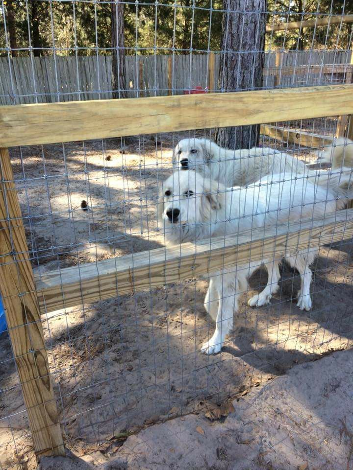Great Pyrenees Dog For Adoption In Panama City Fl Adn 785886 On