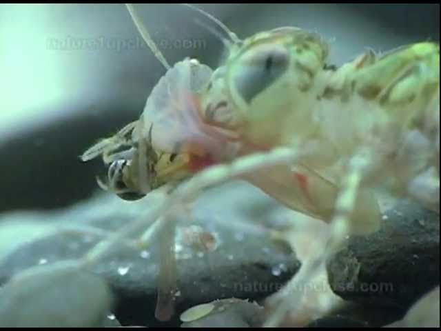 Dragonfly larvae hunting backswimmers (#217)