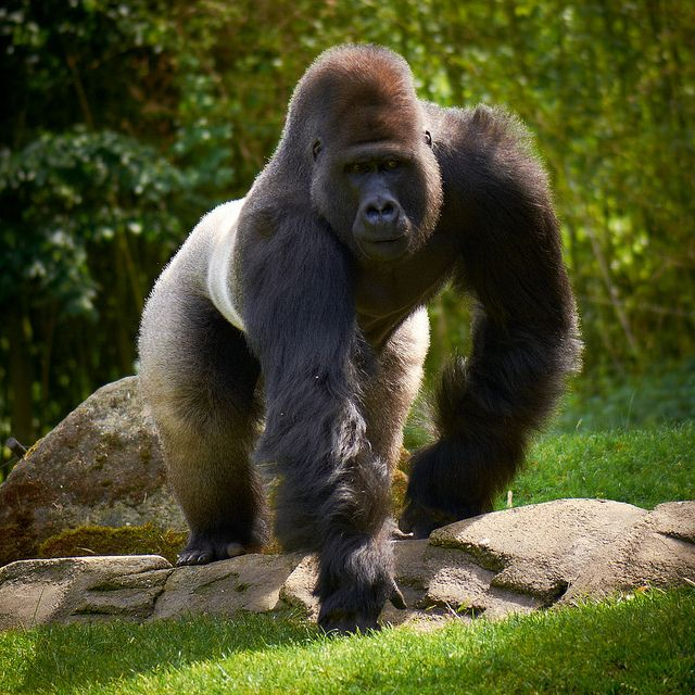 You Re Amazing Animals: Silverback Gorilla Strength - Bing Images