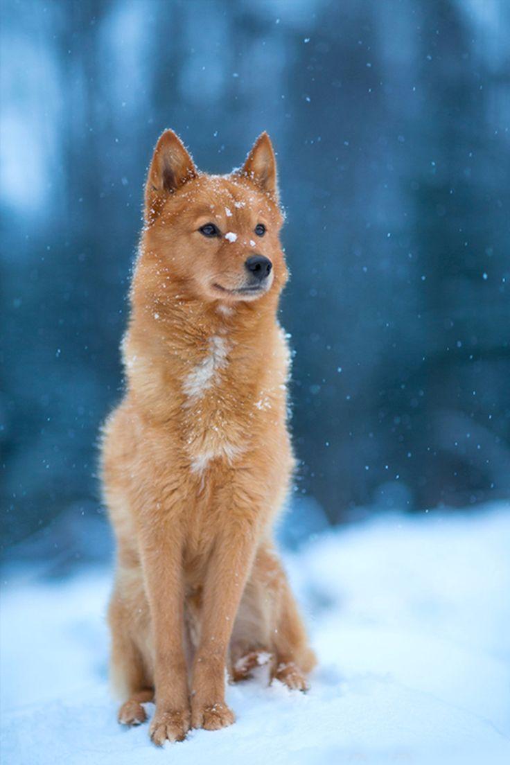 finnish spitz   Pups   Pinterest