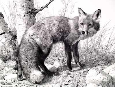 """""""Red Fox Study"""" Carl Brenders"""