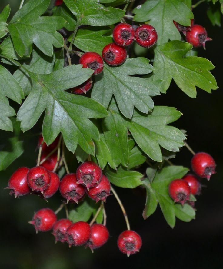 this an image i have taken of red berries