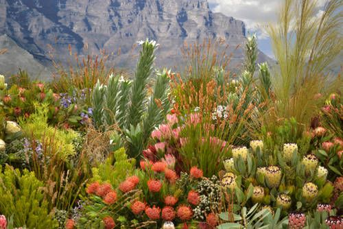 The fynbos of South Africa, Cape Floristic Province