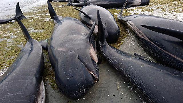 Το Κουτσαβάκι: Στη Νέα Ζηλανδία, περισσότερα  από 400 δελφίνια ξε...