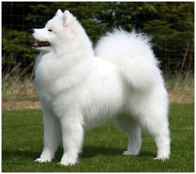 Samoyeds are the most incredible dogs!!!!  I miss Bear, she lived to the ripe age of 13 : )