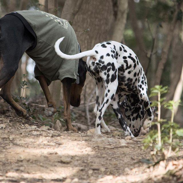 【ryopachi8】さんのInstagramをピンしています。 《今週も「犬の森ポム」さんへ! 今回はちゃんとウランを 忘れなかったよ!!! ・ #ドーベルマン #doberman #dobie #dobermansofinstagram #dobermanpinscher #dobielove #dobielife #ダルメシアン #dalmatiansofinstagram #dalmatianlove #doglove #dogstagram #dogsofig #森 #forest  #woods #dogoftheday #doglife #dogpark #犬の森ポム #ドッグラン #instadog #instadobie #instadal  #デジイチ #一眼レフ #後ろ姿 ・ #ドングリ 探しに夢中です。 普段 食べさせてないみたいだから やめてっ》