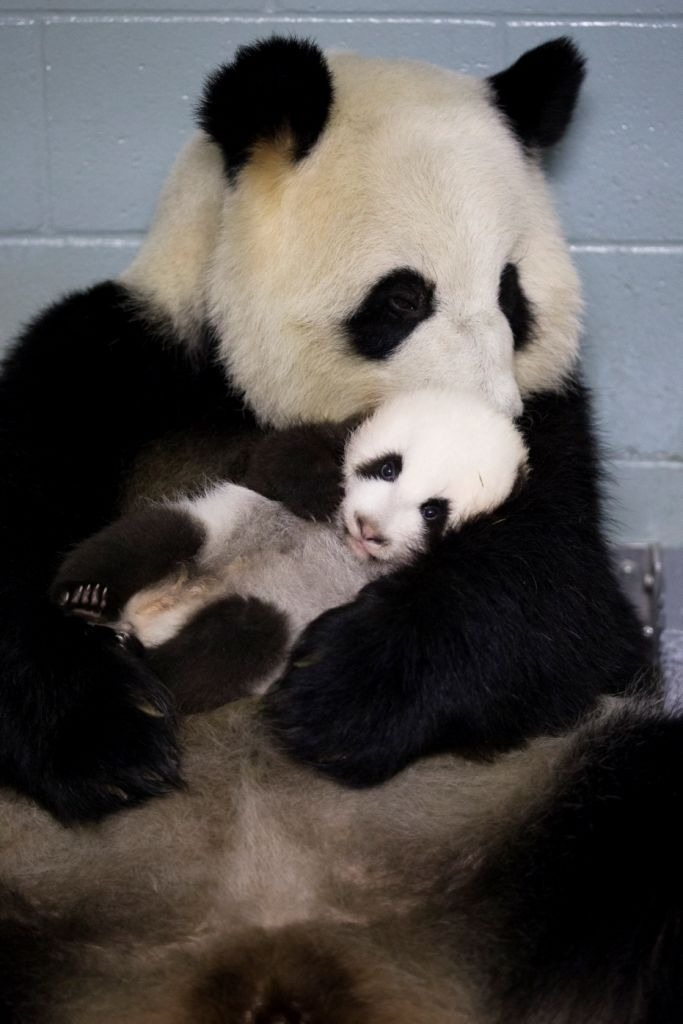 Lun Lun, a panda at the Atlanta Zoo, holds one of her twin cubs that were born July 15.