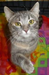 Heather is an adoptable Tabby - Grey Cat in Logan, UT. Heather is a super snuggly and sweet girl. She's very cute, with her dilute tortoiseshell/tabby markings. She is a loving, affectionate cat who i...