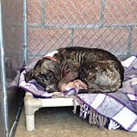 NEW YORK, NY - TABBY is a AMERICAN PIT BULL TERRIER for adoption who needs a loving home.
