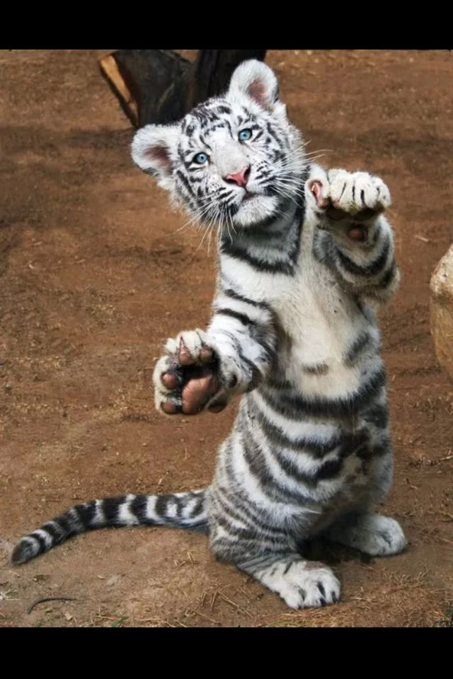 white tiger holding baby - photo #36