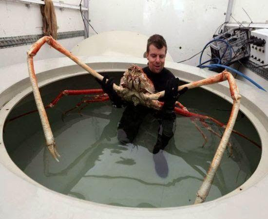 Macrocheira Kaempferi, o caranguejo-aranha-gigante que assusta mergulhadores no mar do Japão