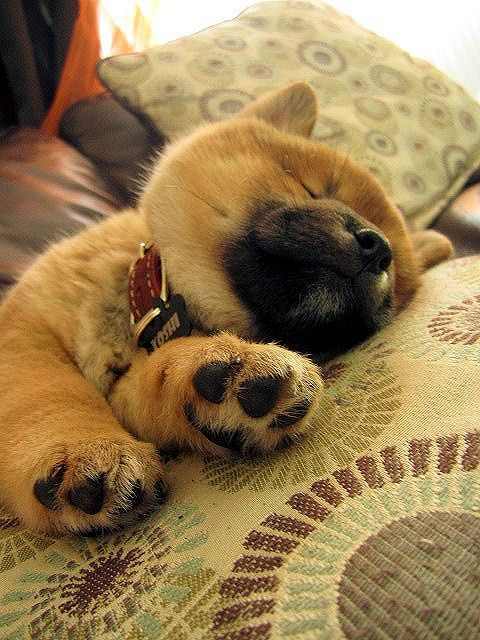 A baby Shiba Inu taking a nap on its side.