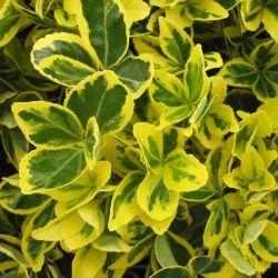 Feuillage lumineux ! Le Fusain 'Aureovariegatus' est un arbuste au feuillage panaché de jaune et de vert. Il a un port buissonnant plutôt dense. Ce qui le rends idéal pour la confection de haies. Le Fusain est généralement présent sur les cotes atlantiques, car il résiste bien aux embruns ! Le Fusain 'Aureovariegatus' ne nécessite pas beaucoup d'entretien. Découvrez ►Toutes nos variétés de Fusains Comment planter un Fusain 'Aureovariegatus' ?