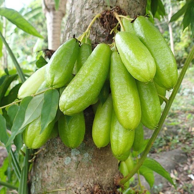 Bilimbi - Les fruits anciens de la Réunion