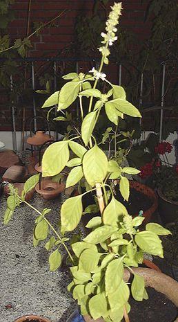 Název: Bazalka Latin.název: Ocimum americanum Čeleď: hluchavkovité  Latin. čeleď: Lamiaceae