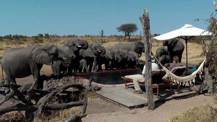 An amazing moment is captured on camera when a herd of wild elephants drink from a pool in the Somalisa Tent Camp in Hwange NP, Zimbabwe. What a sight to see!