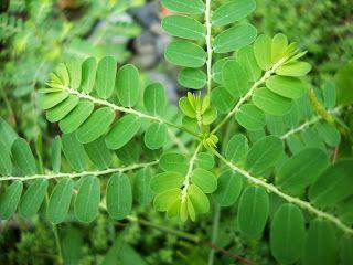 Meniran = Phyllanthus Ninuri L.