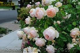 Image result for jude the obscure rose