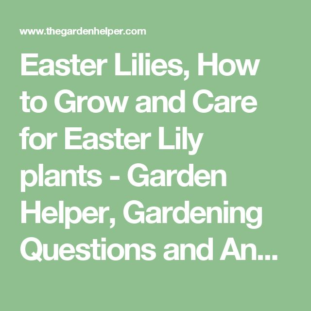 Easter Lilies, How to Grow and Care for Easter Lily plants - Garden Helper, Gardening Questions and Answers