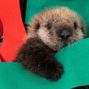 2 Stranded Baby Sea Otters Have Found a New Home at Georgia Aquarium Baby Sea Otters, Otters Cute, Otter Love, Photo Animaliere, Sea Dragon, Cute Creatures, Whippet, Cute Baby Animals, Animal Photography