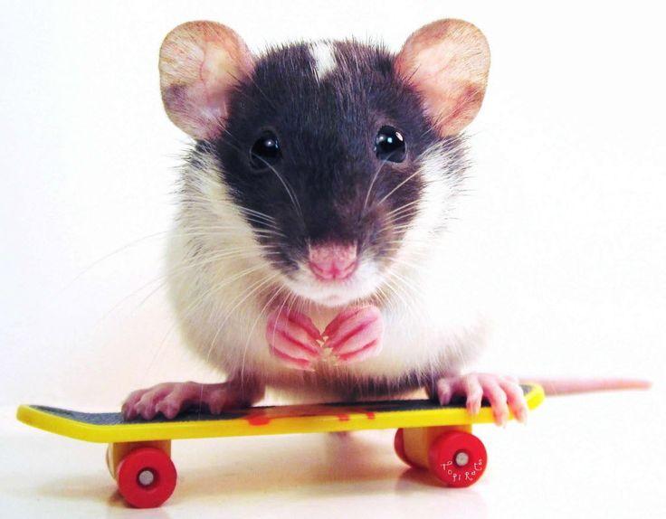 unique fancy rats - Google Search